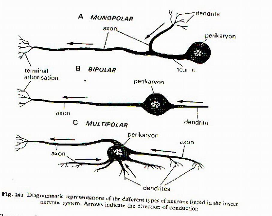"Susunan di atas disebut sebagai ""neuron bipolar"", sedang bentuk ..."